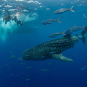 Rainbow racers are commonly associated with the whale sharks feeding in Honda Bay, Palawan, the Philippines, Sulu Sea.