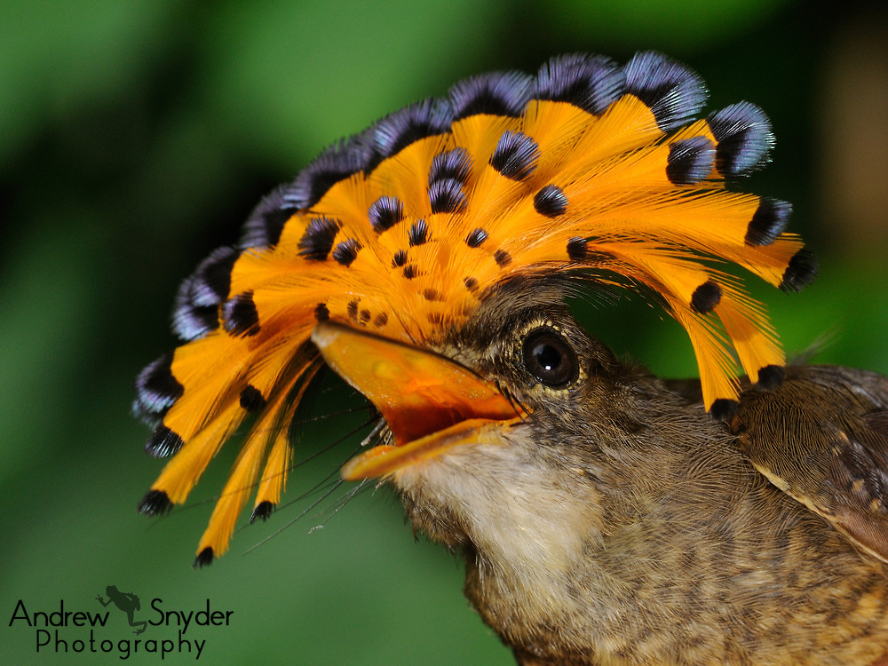 Female Amazonian Royal flycatcher (Onychorhynchus coronatus coronatus. Iwokrama - Guyana