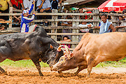 03 NOVEMBER 2012 - HAT YAI, SONGKHLA, THAILAND:  Bullfighting at the bullfighting arena in Hat Yai, Songkhla, Thailand. Bullfighting is a popular past time in southern Thailand. Hat Yai is the center of Thailand's bullfighting culture. In Thai bullfights, two bulls are placed in an arena and they fight, usually by head butting each other until one runs away or time is called. Huge amounts of mony are wagered on Thai bullfights - sometimes as much as 2,000,000 Thai Baht ($65,000 US).     PHOTO BY JACK KURTZ