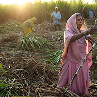 "Radha, a day wage labourer from Ratanpur, harvests sugar cane on someone elses land. She earns Rs.60 for seven hours work...In the north Indian state of UP (Uttar Pradesh), women are responsible for 70 to 80 percent of agricultural work but their contribution remains neglected at all the levels: family, social, economic and policy. Over three quarters of UP's households are involved in farming of which 91% percent operate on land that is marginal and small. Small and marginal farmers often lack access to major agricultural services, such as credit, extension, insurance, and markets...On October 15, 2005 a movement called AROH was launched campaigning for the recognition of women as farmers. A federation of women farmers popularly known as ""Aroah Mahila Kissan Manch"" has been formed in all the districts of Uttar Pradesh. AROH has begun lobbying the UP government for women to be registered as joint owners - with their husbands - of land. At present only 6.5% of women own land in UP. AROH encourages women's co-operatives and other forms of group effort with the idea that these allow for the dissemination of information relating to agricultural technology and other inputs, as well as for the marketing of produce...AROH have found that public sector investments are declining in the agriculture sector. Given the number of women who rely on agricultural work in UP, this this declining investment is of grave concern to the campaign. ..Photo: Tom Pietrasik.Ratanpur, Faizabad District, Uttar Pradesh. India.March 1st 2011"