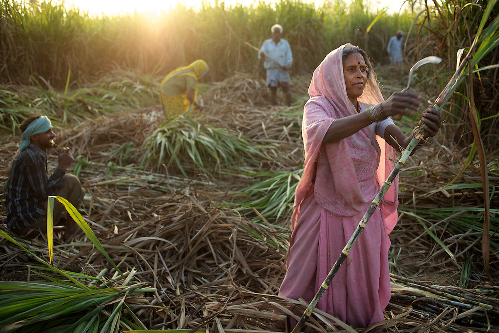 """Radha, a day wage labourer from Ratanpur, harvests sugar cane on someone elses land. She earns Rs.60 for seven hours work...In the north Indian state of UP (Uttar Pradesh), women are responsible for 70 to 80 percent of agricultural work but their contribution remains neglected at all the levels: family, social, economic and policy. Over three quarters of UP's households are involved in farming of which 91% percent operate on land that is marginal and small. Small and marginal farmers often lack access to major agricultural services, such as credit, extension, insurance, and markets...On October 15, 2005 a movement called AROH was launched campaigning for the recognition of women as farmers. A federation of women farmers popularly known as """"Aroah Mahila Kissan Manch"""" has been formed in all the districts of Uttar Pradesh. AROH has begun lobbying the UP government for women to be registered as joint owners - with their husbands - of land. At present only 6.5% of women own land in UP. AROH encourages women's co-operatives and other forms of group effort with the idea that these allow for the dissemination of information relating to agricultural technology and other inputs, as well as for the marketing of produce...AROH have found that public sector investments are declining in the agriculture sector. Given the number of women who rely on agricultural work in UP, this this declining investment is of grave concern to the campaign. ..Photo: Tom Pietrasik.Ratanpur, Faizabad District, Uttar Pradesh. India.March 1st 2011"""