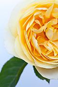 Rose 'Graham Thomas'  - English Shrub Rose bred by David Austin (1983)