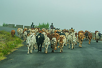 Men herding cattle in the fog, Omo Valley,  Southern Nations Nationalities and People's Region, Ethiopia.
