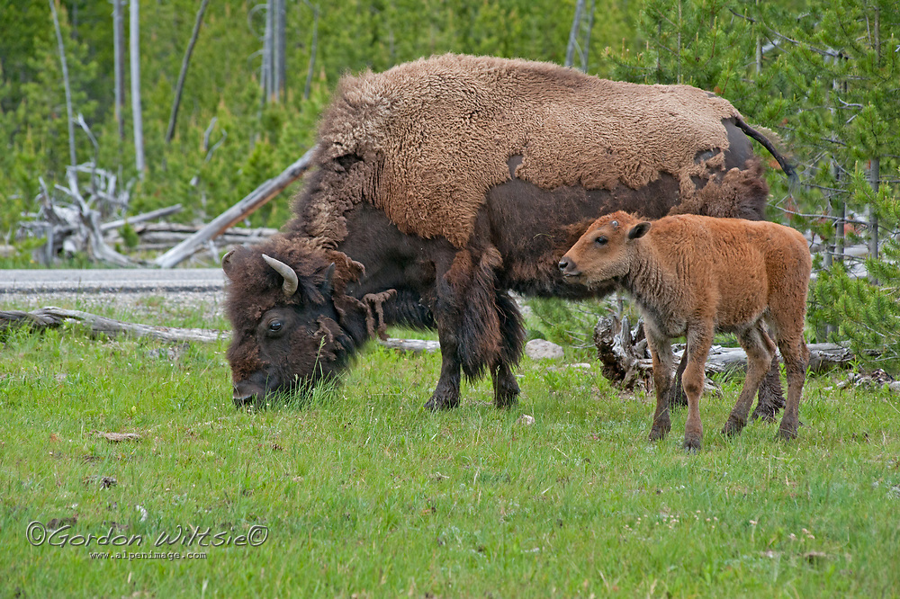 An American Bison (Bison bison) cow and calf graze in a Lodgepole Pine grove in Yellowstone National Park, Wyoming.