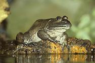 North American Bullfrog - Rana catesbeiana