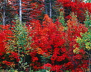 Brilliant autumn colors of sugar maples in mixed northern forest between Manitowaning and Hilly Grove on Manitoulin Island, Lake Huron, Ontario, Canada.