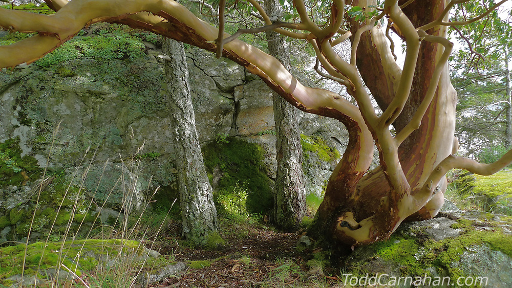 An otter haul out under an Arbutus tree at Fort Rodd Hill, Victoria