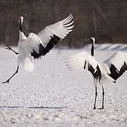 Red-crowned crane, pair doing their mating dance. Akan International Crane Centre, Kushiro, Japan