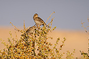 Corn Bunting (Emberiza calandra) perched on a branch. Photographed in Israel in June