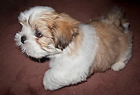 Skookum Doohickey Seng Kye of Nika Trail Lhasa apso puppy at 9 weeks old