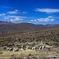 South America, Peru, Salinas and Aguaga Blanca National Reserve. Alpaca herds protected in the Pampa Cañahuas.