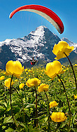 Paraglider over a meadow of Alpine Globeflower (Trollius Europaeus ) meadows at 6000ft ( 2500Mts) with the Eiger behind. First, Grindelwald, Bernese alps .<br /> <br /> Visit our SWITZERLAND  & ALPS PHOTO COLLECTIONS for more  photos  to browse of  download or buy as prints https://funkystock.photoshelter.com/gallery-collection/Pictures-Images-of-Switzerland-Photos-of-Swiss-Alps-Landmark-Sites/C0000DPgRJMSrQ3U