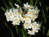 Narcissus / Narcissus