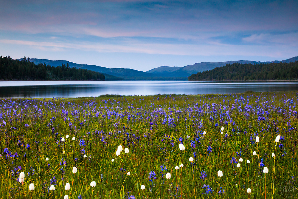 """""""Wildflowers at Sagehen Meadows 3"""" - Photograph of purple Camas wildflowers and Stampede Reservoir shot just after sunset."""
