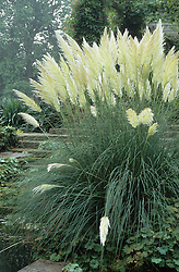 Cortaderia (Pampas Grass) at the bottom of some steps leading up to the Pergola walk at West Dean