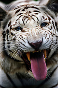 A rare white tiger waits to be fed at the Exotic Feline Rescue Center near Terre Haute, Indiana. The facility's lions and tigers, one of some 230 exotic felines, generally were abused or abandoned by pet owners across around the United States. © Steve Raymer / National Geographic Creative