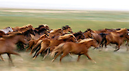 Wild Steppe horses, southern Kazakhstan
