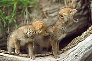 Coyote puppy howls, with sibling at opening from shelter under log. (These animals were born in captivity and are not releasable. They were taken to a natural outdoor setting for photography.)(Stock agencies have a stolen copy of this image for sale with my name and copyright stripped off. Please buy from me, the photographer, owner and copyright holder.) © David A. Ponton