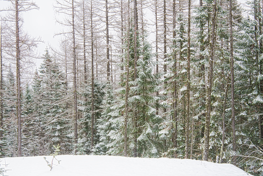 A gorgeous winter day on Mount Spokane in Eastern Washington in late January. The forest is quiet, the drifts are deep, and the western hemlocks are frosted with fresh snow.