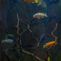 Lake Malawi Chichlid fish swim in a tank at Steinhart Aquarium at the California Academy of Sciences in Golden Gate Park, San Francisco, California.