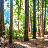 Serene forest of majestic Californian Redwoods and Australian native fauna flank the Aire River, Great Otway National Park, Victoria Australia.