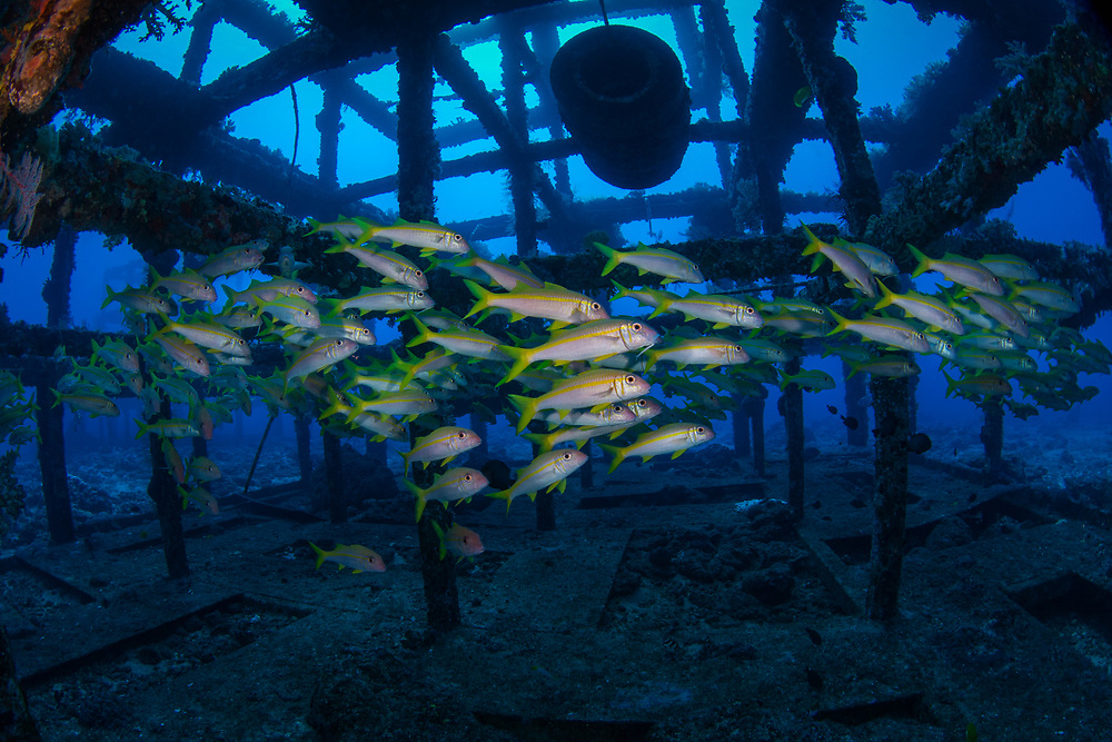 Artificial reefs packed with goatfish, Green Island, a small volcanic island in the Pacific Ocean , Taiwan