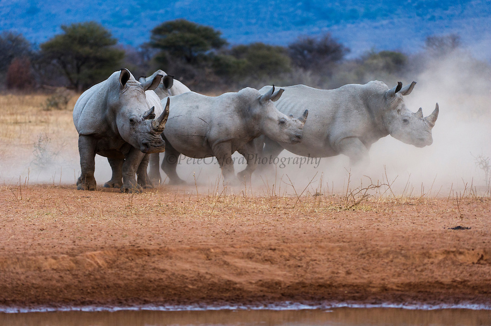 White rhinoceros (Ceratotherium simum) & calf<br /> Marataba, A section of the National Park, <br /> SOUTH AFRICA<br /> RANGE: Southern & East Africa<br /> ENDANGERED SPECIESWhite rhinoceros (Ceratotherium simum) & calf<br /> Marataba, A section of the National Park, <br /> SOUTH AFRICA<br /> RANGE: Southern & East Africa<br /> ENDANGERED SPECIES