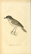 Formicivora mentalis from volume XIII (Aves) Part 2, of 'General Zoology or Systematic Natural History' by British naturalist George Shaw (1751-1813). Griffith, Mrs., engraver. Heath, Charles, 1785-1848, engraver. Stephens, James Francis, 1792-1853 Published in London in 1825 by G. Kearsley