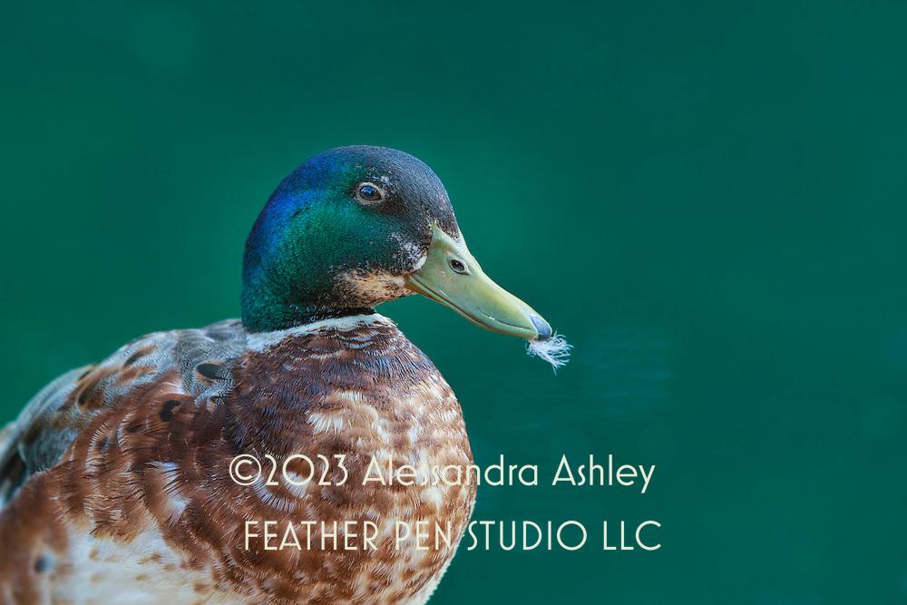 Mallard drake sporting breeding plumage in spring, holding feather in green beak after bathing and preening.