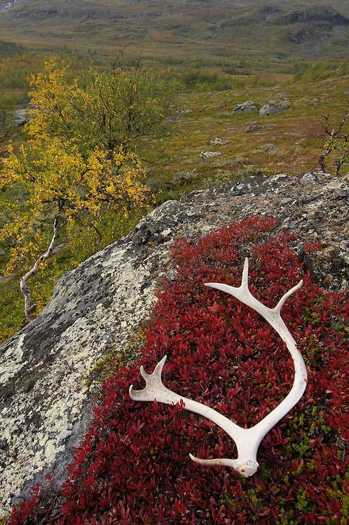 Reindeer, Rangifer tarandus, Laponia World Heritage area, Lapland, Sweden