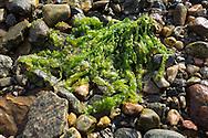 Kelp covers a Gloppenfjorden beach in Sandane, Norway, on Monday, May 13, 2013.   (© 2013 Cindi Christie/Cyanpixel)