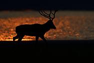 Male Père David's deer, or Milu, Elaphurus davidianus, at sunrise in the morning by water of the Yangtze river in Hubei Tian'ezhou Milu National Nature Reserve, Shishou, Hubei, China