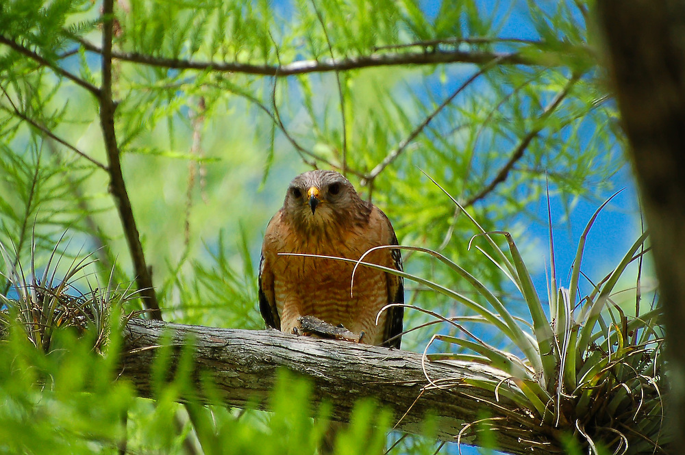 A red-shouldered hawk feasts on a panfish caught deep in the Big Cypress National Preserve of Southwest Florida.