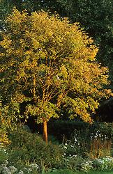 Evening light on Acer griseum - maple