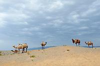 Mongolie, Province d'Omnogov, parc national du Gobi, chameaux dans le desert de Gobi // Mongolia, Omnogov province, National Park of Gobi, Gobi desert, camels