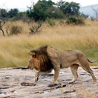Africa, Kenya, Masai Mara. Lion walks across a rock after the rains in the Mara.