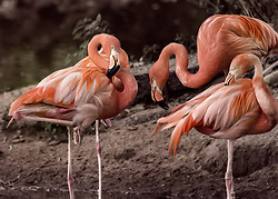 A Flamingo Congregation