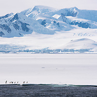 An emperor penguin, the tallest penguin species, walks with a group of Adelie penguins along the edge of fast ice in Crystal Sound in Antarctica.