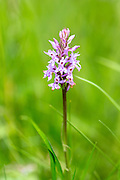 Pyramidal Orchid, Anacamptis pyramidalis, perennial herbaceous plant  in The Cotswolds, Gloucestershire, UK
