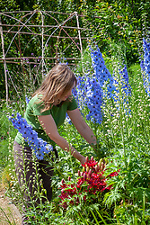 Staking delphiniums that have flopped over in a border