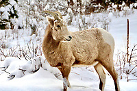 Single bighorn sheep in Estes Park, Colorado