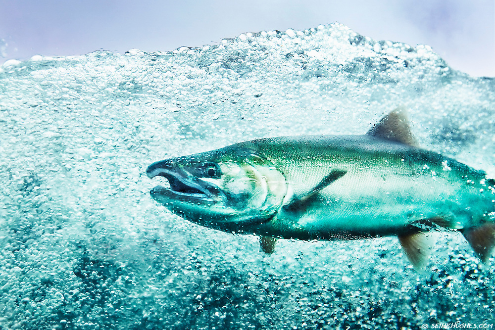 An underwater view of a Coho salmon (silver salmon) swimming upstream to spawn near Juneau, Alaska.