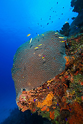 Great Star Coral, Montastrea cavernosa, Family: Faviidae, West End, Grand Bahamas, Atlantic Ocean