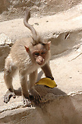 India, Karnataka state, Hampi A young Macaca mulatta Monkey in the grounds of the temple