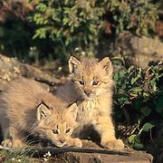 Canada Lynx, (Lynx canadensis) Kittens. Rocky mountains. Montana.  Captive Animal.