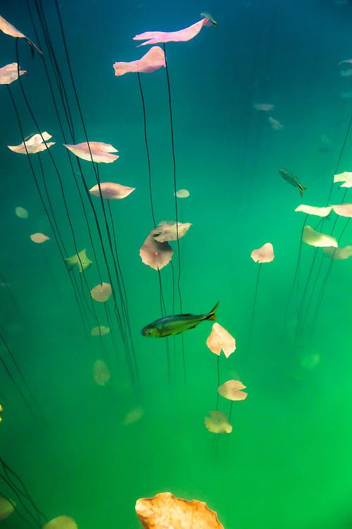 México, Quintana Roo, Tulum. Water plants and fish at cenote Car Wash.