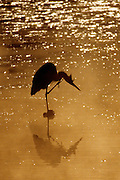 Great Blue Heron scratching at sunrise - Mississippi