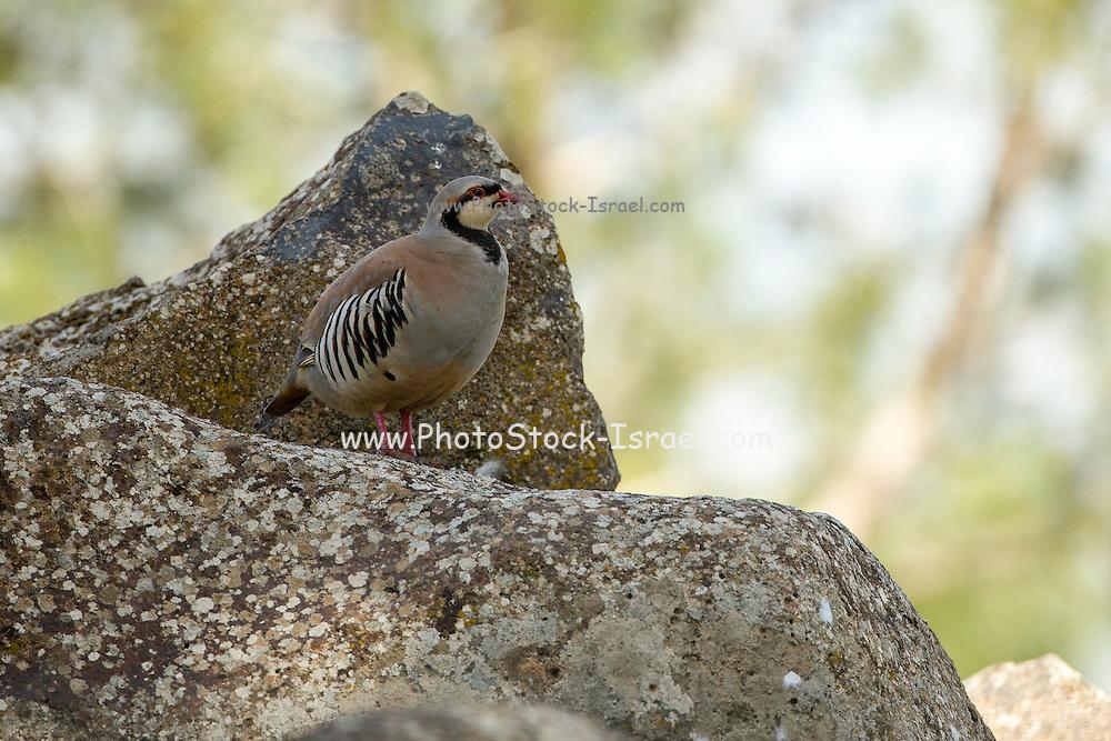 Chukar Partridge or Chukar (Alectoris chukar) Photographed in Israel in March