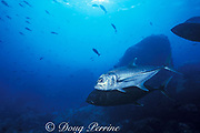 bigeye trevally or great trevally, Caranx sexfaciatus,<br /> one member of pair has turned black or adopted dark color <br /> phase during courtship, Darwin Island, <br /> Galapagos Islands, Ecuador ( Eastern Pacific Ocean )