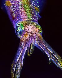 Caribbean reef squid, Sepioteuthis sepioidea, Key Largo, Florida Keys National Marine Sanctuary, Florida, Atlantic Ocean